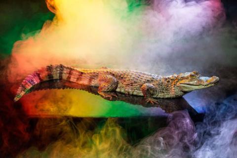 Зубастый монстр в свете софитов: изысканные фотографии аллигаторов