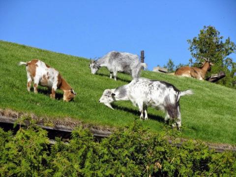 Оригинальный пиар-ход в виде коз на крыше ресторана
