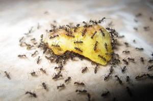 Как бороться с муравьями дома?