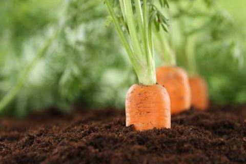 Морковь на бумажной ленте: готовимся к весеннему посеву