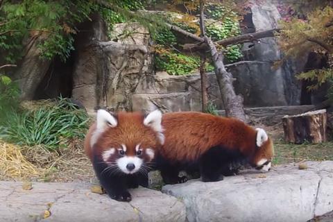Эти малыши красной панды взв…