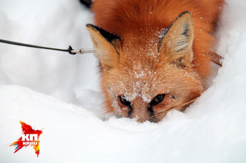 В Новосибирске хитрая лиса сбежала со съемок фильма, обещано вознаграждение!