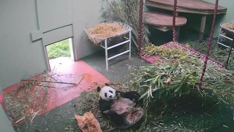 Видео с упавшей с кровати пандой стало хитом YouTube