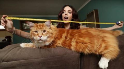 Самый длинный кот планеты