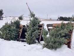 Россиянам предлагают разрешить самостоятельно рубить ёлки в канун Нового года