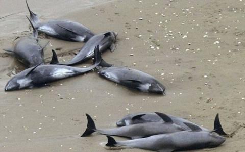 Спасение выбросившихся на берег дельфинов
