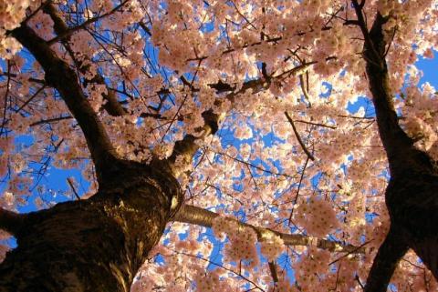Цветение сакуры в Японии! (Красота неземная!)