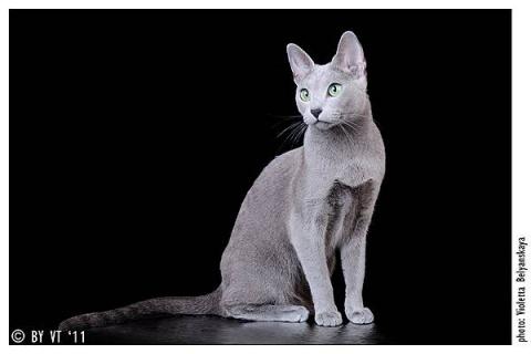 КОШКИН ДОМ. Самые красивые породы короткошерстных кошек