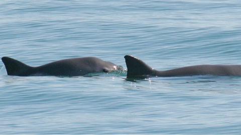 Дельфины спасут вымирающих морских свиней