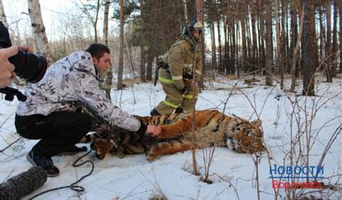 Приключения тигра, найденного в окрестностях Воронежа