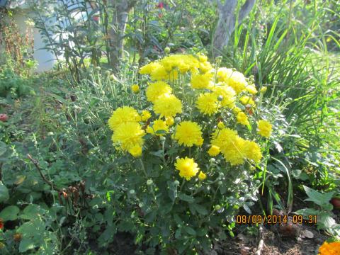 Хризантема мультифлора зимнее хранение