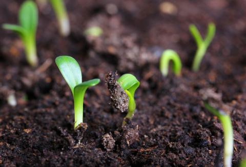 Семена сажаем в... кипяток!