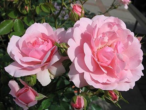 30 самых надежных роз для средней полосы