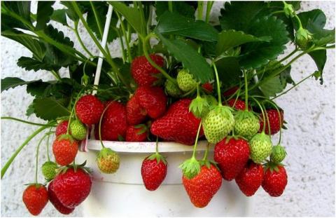 Способы выращивания садовой …