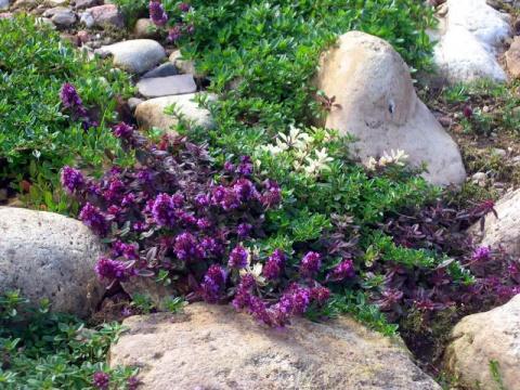Тимьян в вашем саду: красиво…