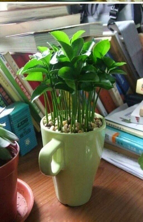 Как вырастить лимонное дерев…