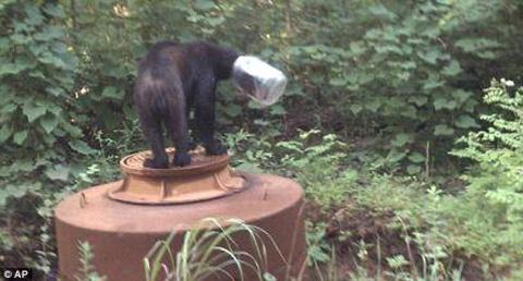 Медведь застрял головой в ст…