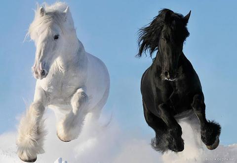 Лошади древнейшей породы Шай…
