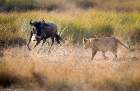 Львица учит детёнышей охотиться