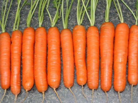 Лучшие сорта моркови сезона 2016