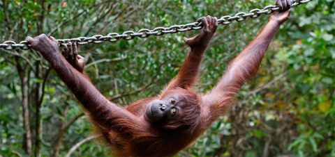 Самка орангутана привлекла с…
