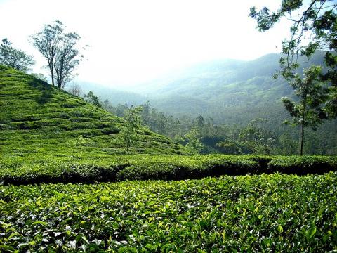 Польза зеленого чая при похудении
