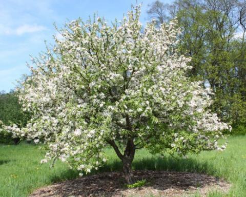 Формировка молодых яблонь