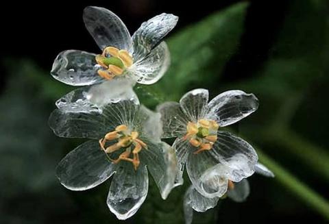 Двулистник Грея: цветок-невидимка