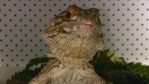 Голодный бородатый дракон стал звездой YouTube
