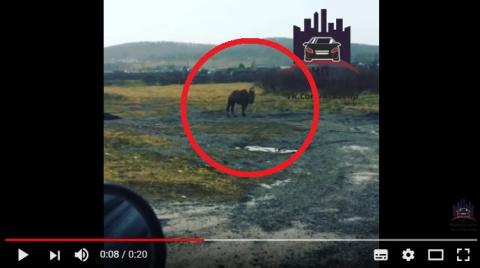 Откуда верблюд в Красноярске…