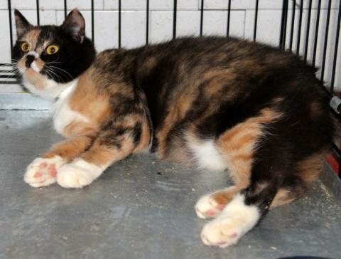 """Приют ,,Второй шанс""""!!! Добродушная котейка трёхцветного окраса принесёт много счастья в ваш дом!!!"""