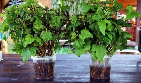 Саженцы с подоконника или секрет зимнего размножения смородины