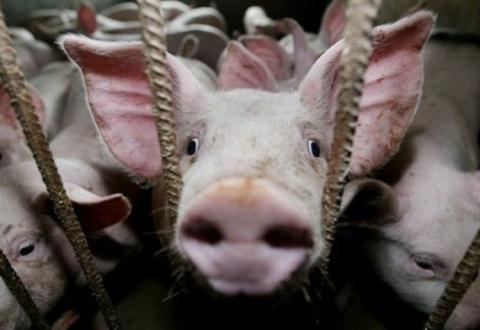 На Украине выведена новая порода «скота»