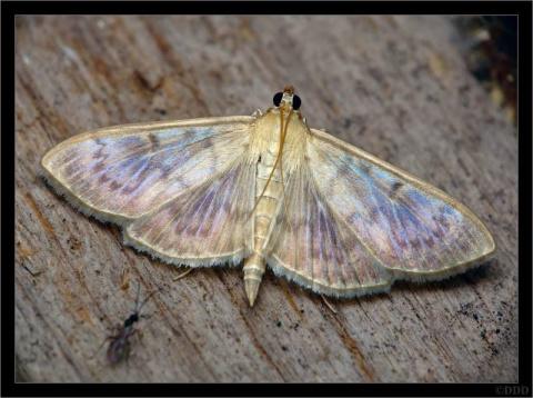 В Сочи выпустили первых мух для борьбы с бабочкой-огневкой