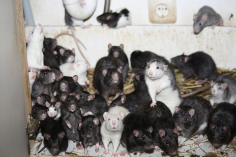 Любитель животных делил двухкомнатную квартиру с тремя сотнями крыс