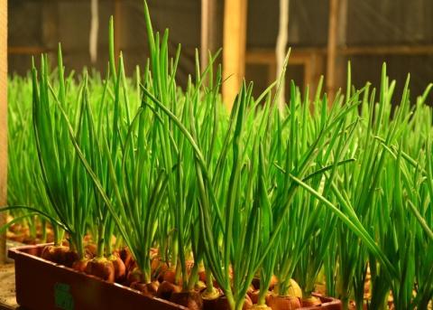 Как вырастить вкусный лук на подоконнике - секреты и тонкости