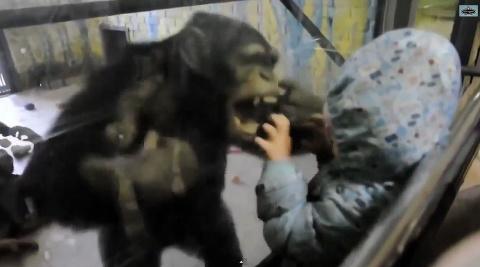 Никто не ожидал такого от шимпанзе - уморительное видео!