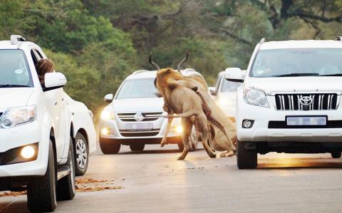Львы растерзали антилопу пря…