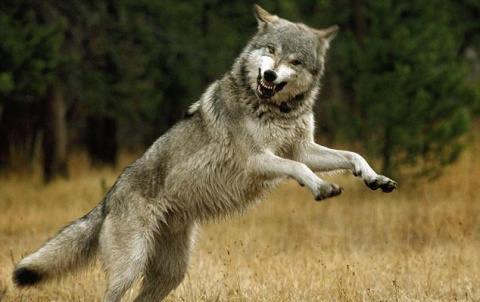 6  лет жизни с волками.
