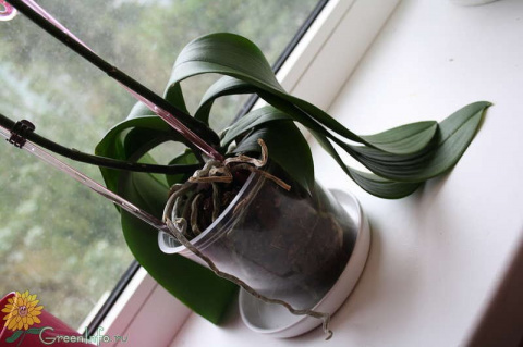 Что делать если листья орхид…