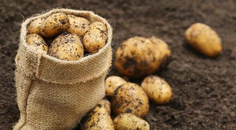 Зачем в Россию везут картофель из Бангладеш?
