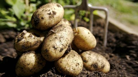 День в истории: 3 декабря 1586 года в Англию завезли картофель