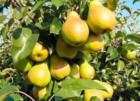 Как посадить грушу чтобы быстро получить урожай