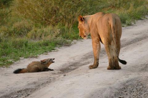 Храбрый лис