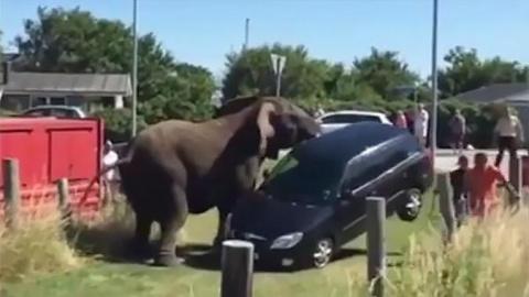 В Дании цирковые слоны напали на людей