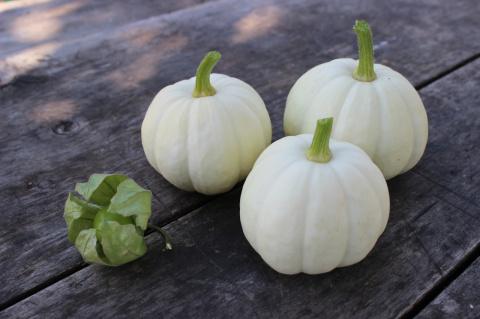 Наш урожай: Китайский миниатюрный белый сквош
