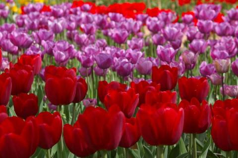 Тюльпаны крупными мазками, и…