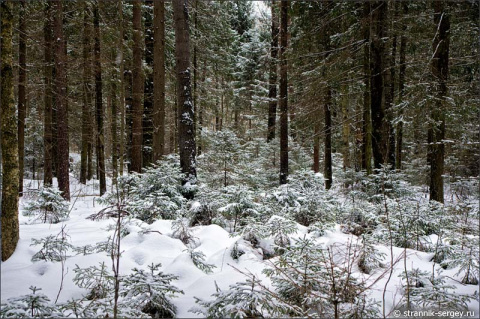 Еловый лес - всегда сказочная история