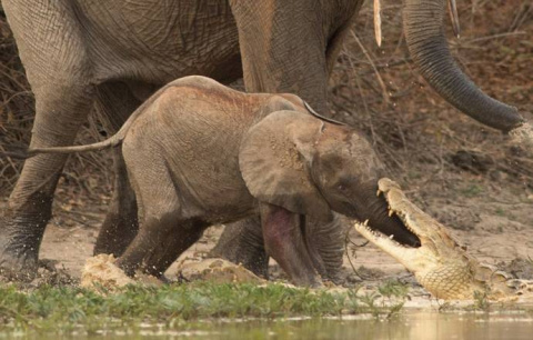 Мама-слониха спасла слоненка от атаки крокодила
