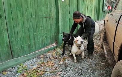Бойцовские собаки напали на …